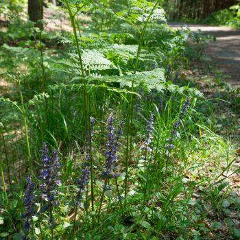Farn und Blüten am Wegesrand, Neuer Weg in der Dresdner Heide