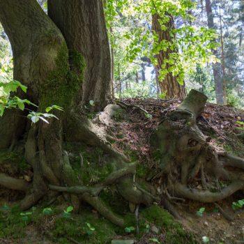 Wurzeln am Wanderweg Alte Acht, Dresdner Heide