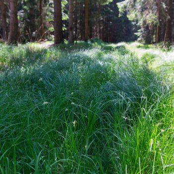 Gräser auf dem Jagdflügel, Dresdner Heide