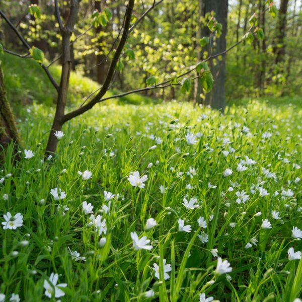 blühende Wiese nahe der Heidemühle, Dresdner Heide