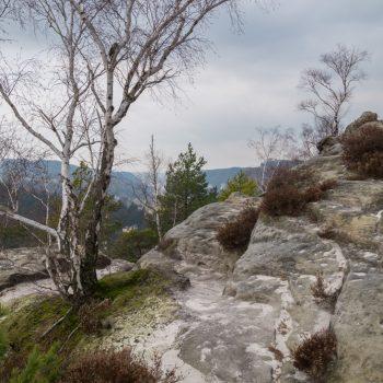 Birke auf dem Gipfelplateau des Gamrigs