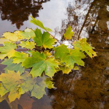 Blätter im rotbraunen Stausee, Dresdner Heide