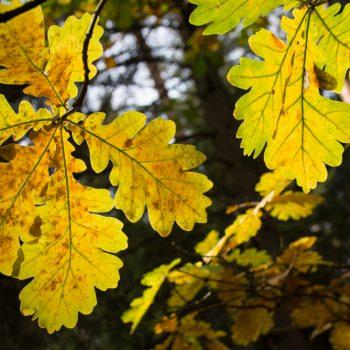 Goldener Herbst, Blätter im Gegenlicht