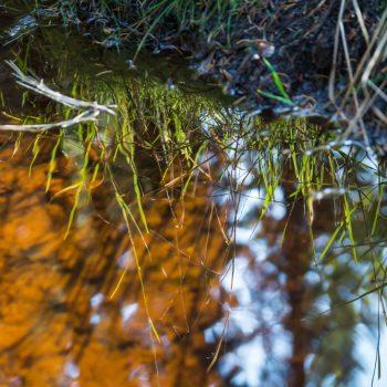 Spiegelung von Grashalmen am Haarweidebach