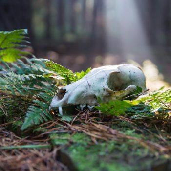 Tierschädel im Morgenlicht, Dresdner Heide
