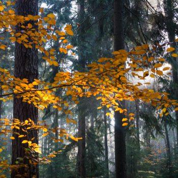goldene Blätter in der Dresdner Heide