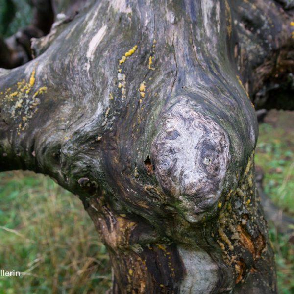Naturdenkmal Hängebuche im Helfenberger Park