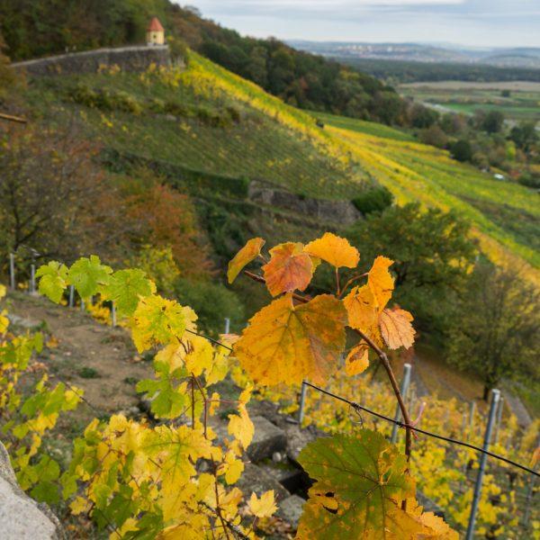 Pillnitzer Weinhang im Herbst, Weinwanderweg