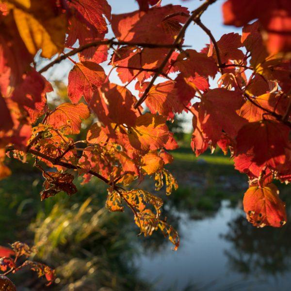 rote Blätter im Gegenlicht, Kleinerkmannsdorf