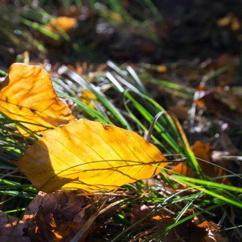 Goldenes Blatt im Gegenlicht, Dresdner Heide