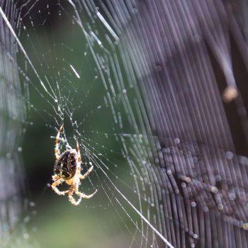Spinne beim Netzbau, Dresdner Heide