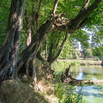 Alte Bäume im Gönnsdorfer Park, Schönfelder Hochland