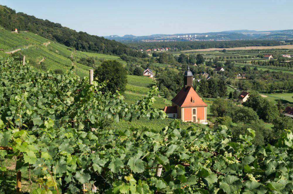 Weinstöcke und Weinbergkirche in Pillnitz