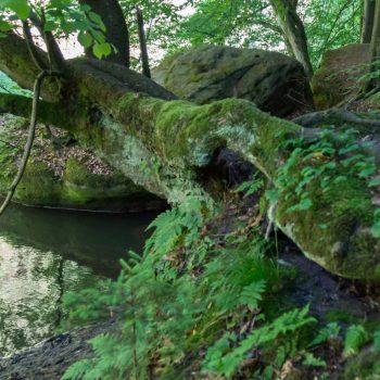 Wurzel am Ufer der Polenz, Wandern im Polenztal