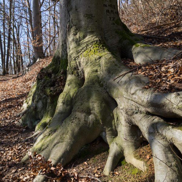 Jagdwege und alte Bäume bei Pillnitz, Wandern im Schönfelder Hochland
