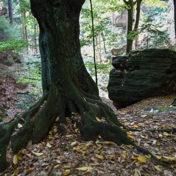 Baum am Neuweg, Abstieg ins Polenztal