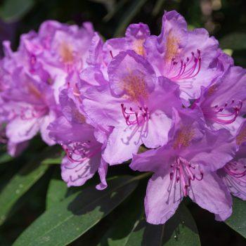 Rhododendron Blüten auf dem Hutberg in Kamenz