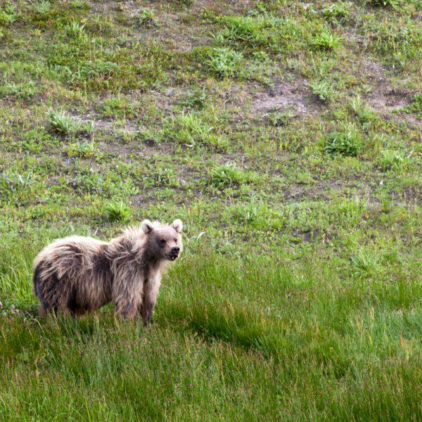 Begegnung mit einem Bären in Kamtschatka