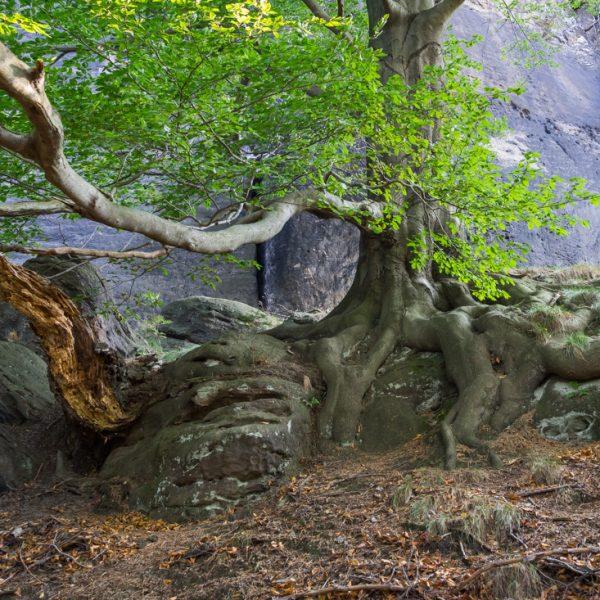Wurzel am Fuße des Pfaffenstein