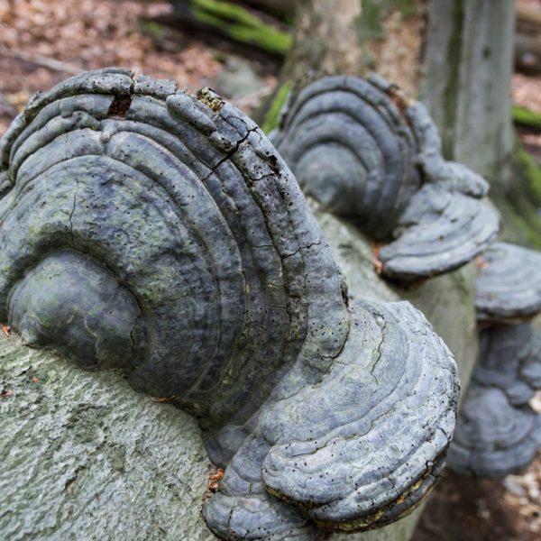 Pilze an einem umgestürzten Baumstamm, Hausberg