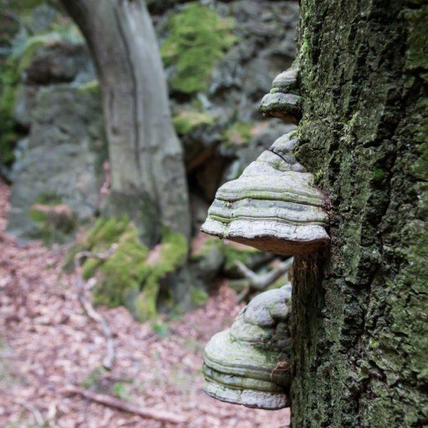 mit Pilzen besetzter Baumstamm am Hausberg
