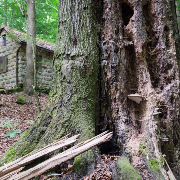 alter Baumstamm und die Hütte am Hausberg