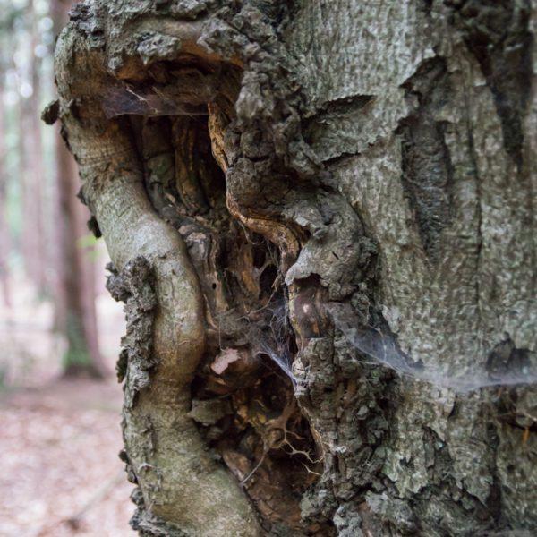 Struktur an einem Baumstamm, am Hausberg