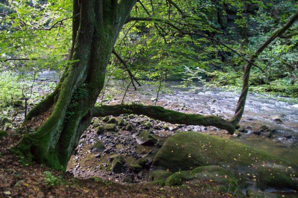 Baum am Flussufer der Wesenitz im Liebethaler Grund