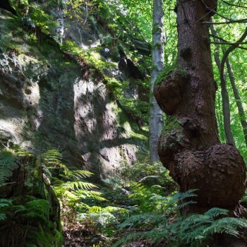 Baum und Felswand im Liebethaler Grund (oberhalb vom E-Werk Copitz)