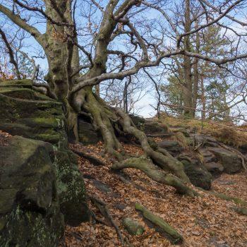 Bäume und Wurzeln auf dem Lilienstein