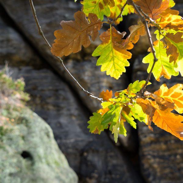 Herbstlaub am Lilienstein