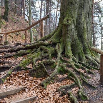 Baum am Südaufstieg des Liliensteins