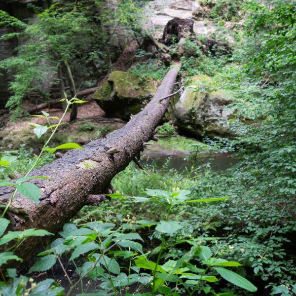 gefallener Baumstamm über der Wesenitz, Lohmener Klamm