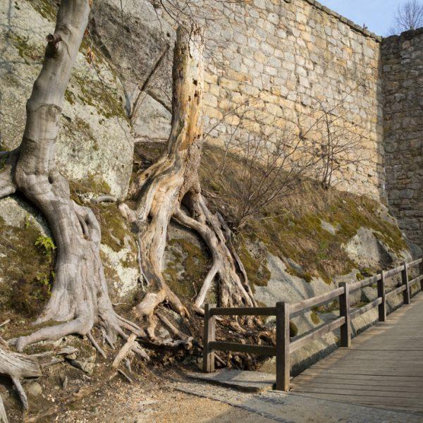 alte Bäume am Burgtor, Oybin