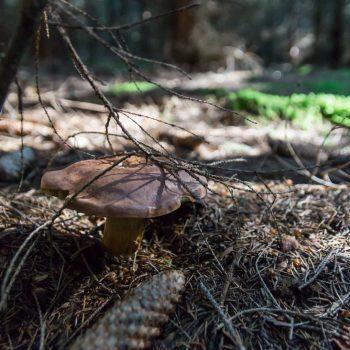 Pilze sammeln in der Desdner Heide