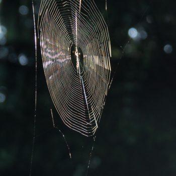 Spinnennetz im Morgenlicht, Dresdner Heide