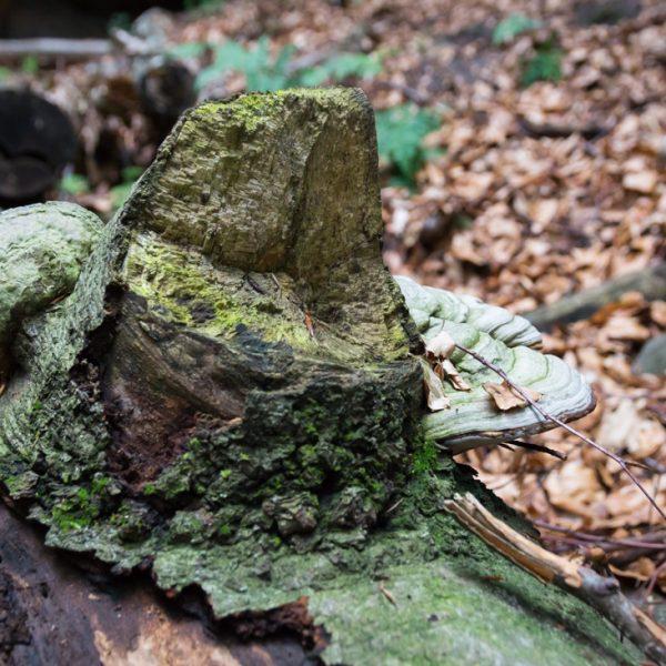 mit Pilzen besetzter Baumstamm unterhalb der Rübezahlstiege