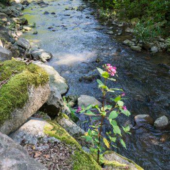 Springkraut und bemooste Felsen am Flussufer, Rabenauer Grund
