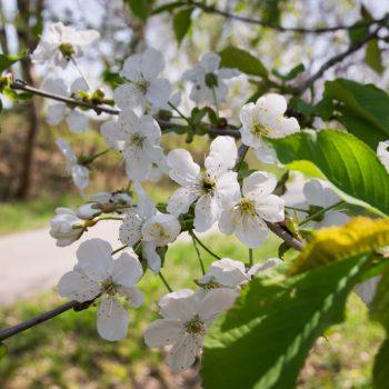 Frühling im Schönfelder Hochland, blühende Obstbäume am Alten Bahndamm