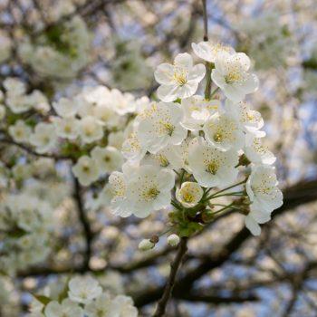 Blühende Bäume bei Dorf Wehlen