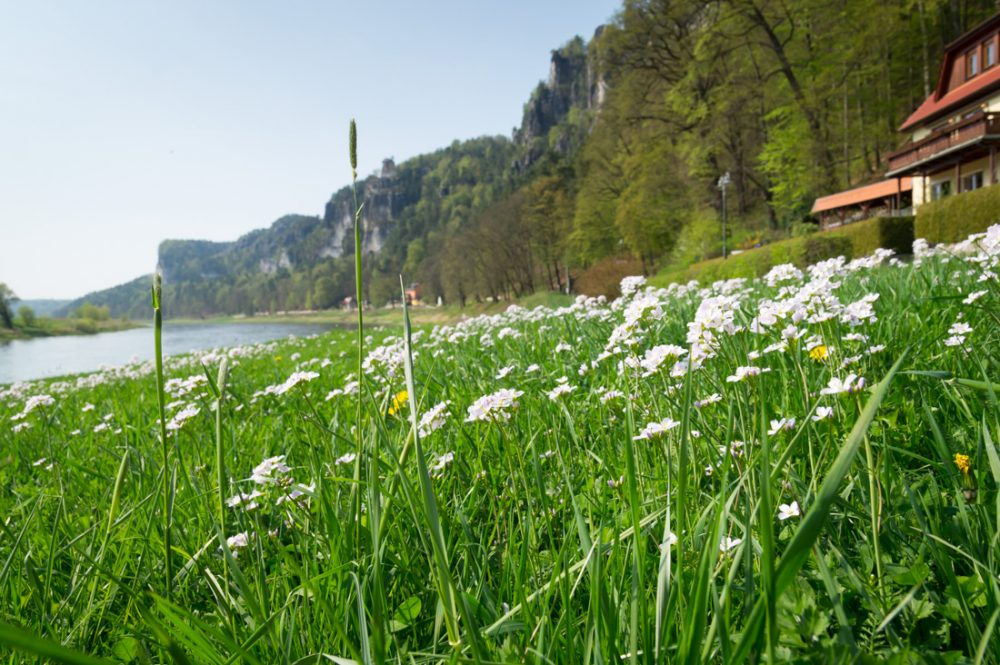 blühende Wiesen am Elberadweg bei Rathen