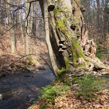 Alter Baum am Ufer der Prießnitz, auf der Prießnitztalstraße durch die Dresdner Heide
