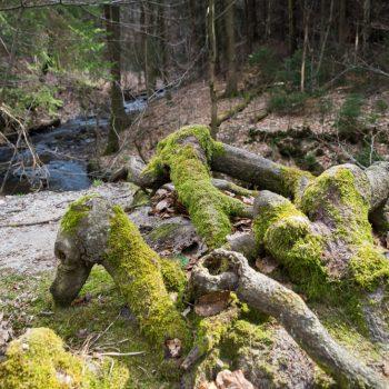 mit Moos benetzte Wurzeln im Tal der Prießnitz, Dresdner Heide