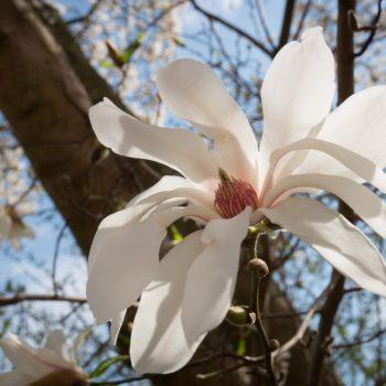 Blüte der Sternmagnolie im Rosengarten Dresden