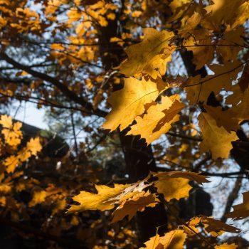 Goldene Blätter beim Aufstieg zum Kleinen Bärenstein, Herbstwanderung