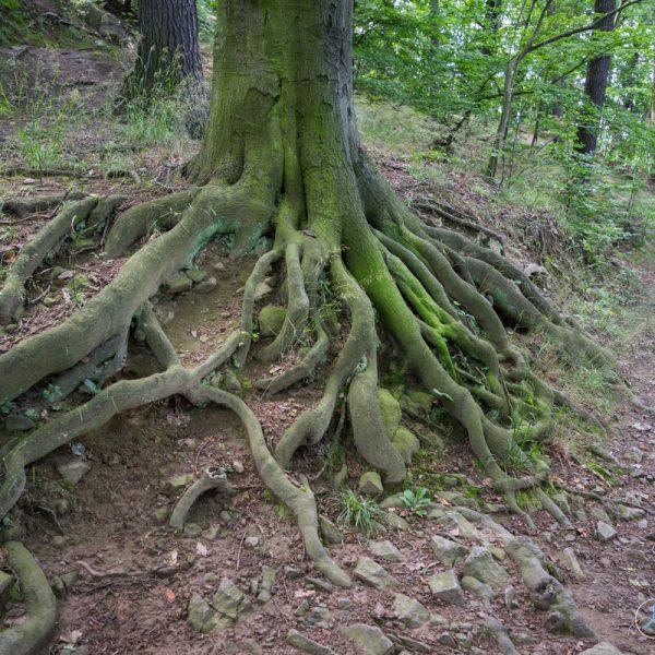 Wurzeln an der künstlichen Ruine Pillnitz