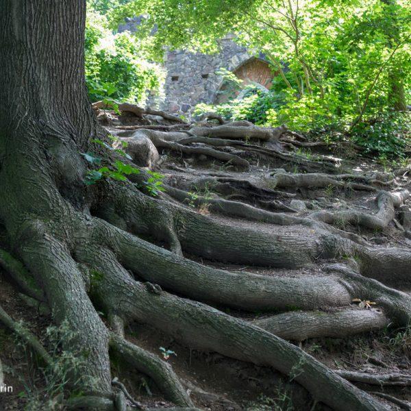 Wurzeln an der künstlichen Ruine bei Pillnitz