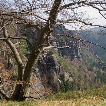 Aufstieg in die Schrammsteine, Bäume am Abgrund