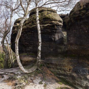 Birken und Felsen, auf dem Gipfelweg der Schrammsteine