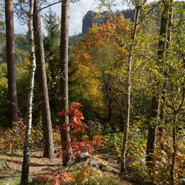 Herbstlicher Wald am Fuße des Falkensteins, mit Blick in die Schrammsteine